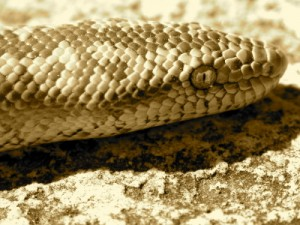 close up of boa constrictor scales