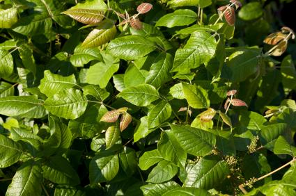 Bush of Poison Ivy