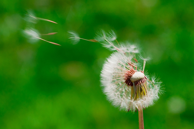 dandelion seeds blowing off the flower
