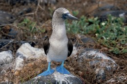 blue-footed-boobie from wikimedia